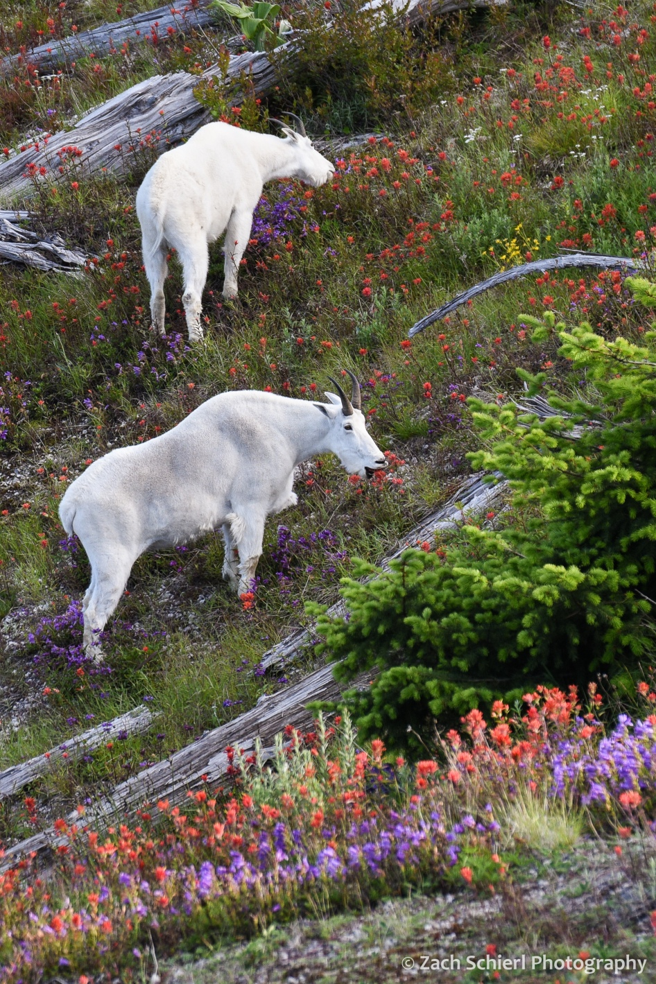 Two mountain goats graze a field of bright purple and red flowers
