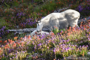 A mountain goat grazes a field of bright purple and red flowers