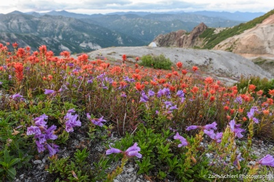 A field of red and purple flowers with a tent and mountain views in the background