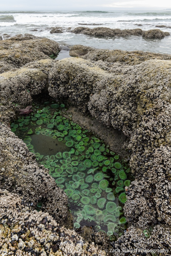 A hole in a rock along the coastline is filled with large green anemones, while waves crash in the background.