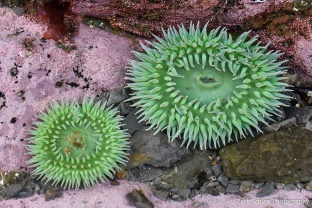 Two large bright green anemones on a rock
