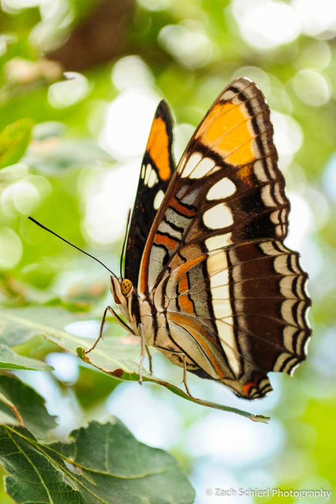 An ornate brown, white, and orange butterfly perched on a leaf