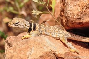 A tan lizard with brown and yellow spots and a thick black neck stripe rests on some rocks