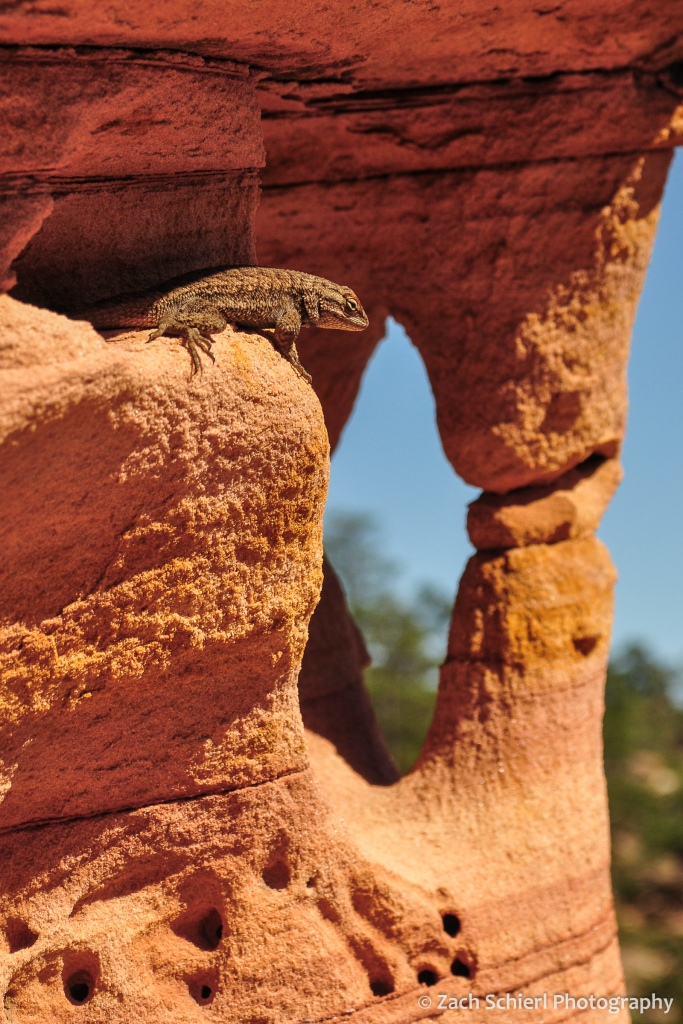 A lizard sits on a ledge of orange sandstone with a small arch in the background