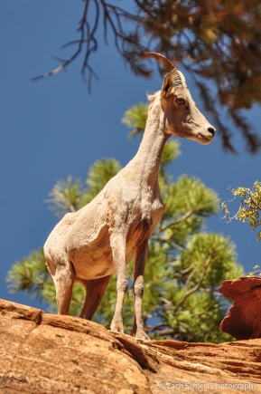 A bighorn sheep with short horns peer down from a ledge of rock
