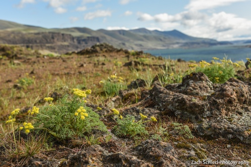 A few clusters of small yellow flowers sit on a rock with a river and gorge in the background.