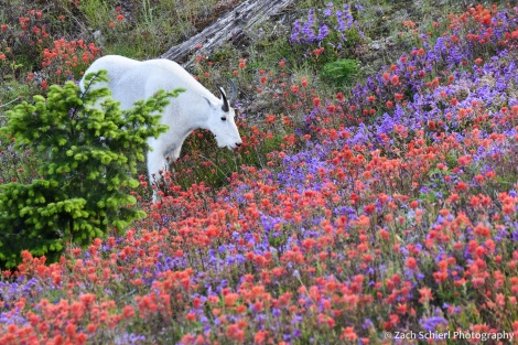 Mountain goat and wildflowers, Mt. St. Helens National Volcanic Monument, Washington