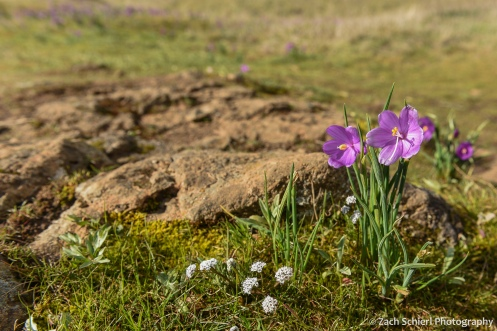 A cluster of bright pink flowers in a grassy field next to a rock.
