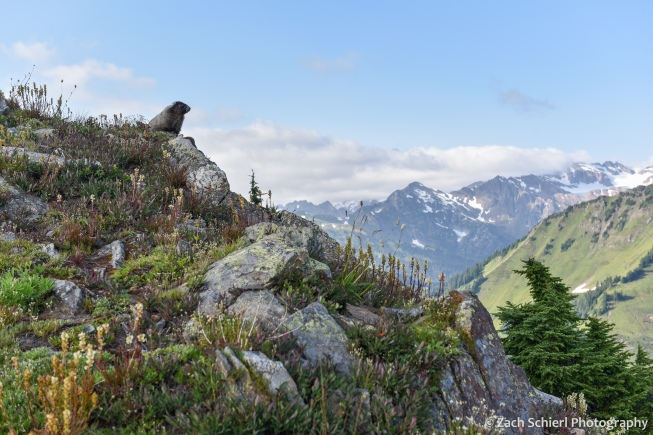 A marmot sits on a rock above a slope of rocks and wildflowers