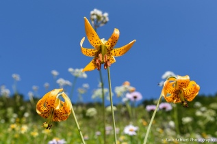 A trio of yellow flowers with brown spots against a blue sky