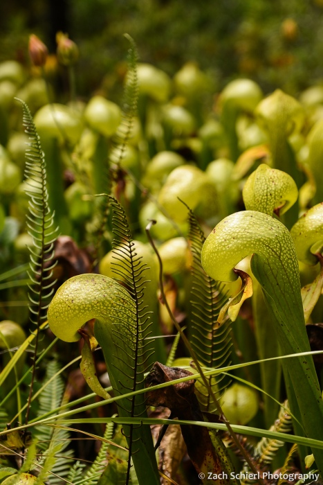 A green plant with abundant translucent patches on its leaves grows out of a dense bog