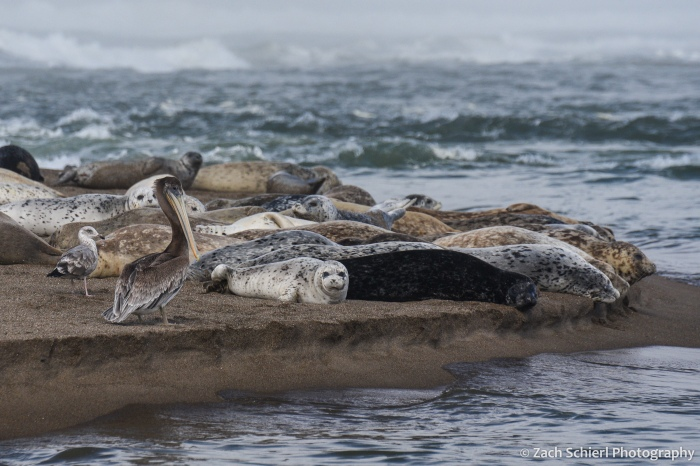 Over a dozen seals rest on a sandy beach alongside a pelican with a long beak and a seagull.
