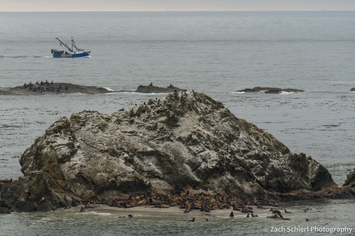 A small island of rock sticks out of the ocean. Many seals and sea lions lie on the rock and adjoining sand. A boat passes by in the background.